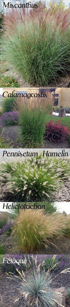 1-Miscanthus (sol bien drainé + eau moyenne) 2- Calamagrostis (soleil+eau de pluie) 3- Pennisetum (soleil+sécheresse. variété Hamlyn: intérêt en automne) 4- Stipa (sol sec de préf. nbx semis spontanés mais facile à arracher) 5- Helictotrichon (résistant à la sécheresse) 6- Fétuque (soleil/ombre, attractif toute l'année)