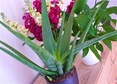 Seven ways to use Aloe Vera - Better Raw