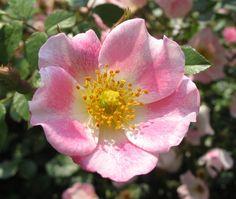 briar rose | few days before summer solstice, sweet briar rose, Hudson River Park ...