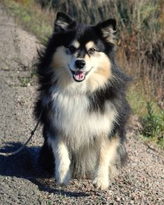 finnish Lapphund photo | Finnish Lapphund by ~Elektra96 on deviantART