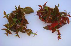 come-se: Folhas de pitanga como tempero
