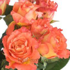 orange sherbet garden rose