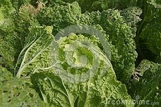 Green Chinese cabbage in a garden a background