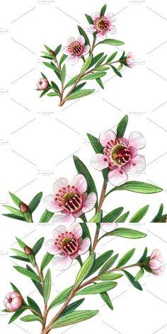 Manuka Tree, Pencil Design, Pencil Illustration, How To Draw Hands, Flowers, Plants, Florals, Planters, Flower
