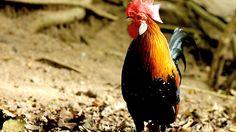 Chicken in Khao Kheow Open Zoo