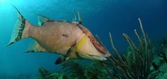 hogfish [hawg-fish, hog-] ExamplesWord Origin noun, plural (especially collectively) hog·fish, (espe Parrot Fish, Black Spot, Freshwater Fish, Ocean Life, Animals, Foods, Google Search, Blue Prints, Food Food