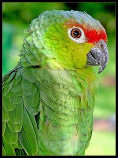 Red-lored Amazon (Amazona autumnalis)