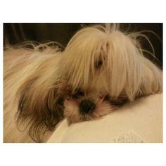 ZzzなLuna #shihtzu#dog#family#philippines#シーズー#犬#フィリピン