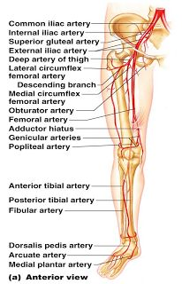 Leg arteries -Deep Artery of Thigh - Deep Femoral Artery (Profunda femoris) - Profunda femoris branches in Lateral Circumflex Femoral Art. Health And Fitness Magazine, Health And Fitness Tips, Health Diet, Daily Health Tips, Health Advice, Arteries Anatomy, Interventional Radiology, Arteries And Veins, Doctor Advice