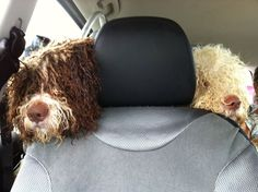 Mis perros de agua de viaje