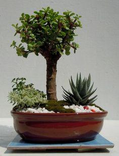 Dwarf Mini Jade Bonsai Portulacaria Afra  eBay