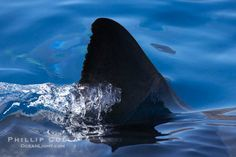 Dorsal fin of a great white shark breaks the surface as the shark swims just below. Guadalupe Island (Isla Guadalupe), Baja California, Mexico, Carcharodon carcharias, natural history stock photograph, photo id 19489