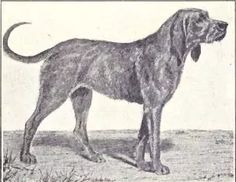 Chien-gris aka Gris de Saint-Louis (Grey St. Louis Hound) was a breed of dog, now extinct, which originated in Medievaltimes. Like the Chien de Saint-Hubert it was a scenthound, and formed part of the royal packs of France, which were composed, from about 1250 till 1470, exclusively of hounds of this type.  Common in the 16th century, they were described as 'gris' (grey) on the back with forequarters and legs that were tan or red, some having near black hair on the back. They were rough hair