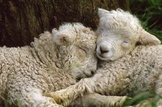 Tukidale Sheep Lambs, Raised for Carpet Wool Photographic Print Farm Animals, Animals And Pets, Cute Animals, Sheep Breeds, Photo Animaliere, Sheep Art, Lord Is My Shepherd, Sheep And Lamb, Tier Fotos