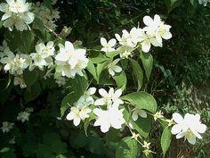 Shrubs with Fragrant Blooms for the South - South Carolina Garden Guru Garden Trees, Trees To Plant, Mock Orange Bush, Aucuba Japonica, Flowering Bushes, Yard Design, My Secret Garden, Orange Blossom, Cool Plants