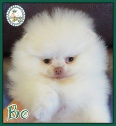 Marvelous Pomeranian Does Your Dog Measure Up and Does It Matter Characteristics. All About Pomeranian Does Your Dog Measure Up and Does It Matter Characteristics. Pomeranian Facts, Baby Pomeranian, Cute Puppies, Cute Dogs, Awesome Dogs, Pom Dog, Save A Dog, Getting A Puppy, Thing 1