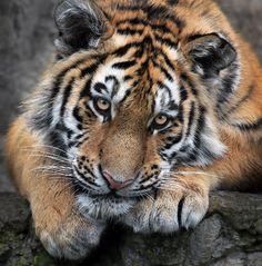 Tiger Vogue