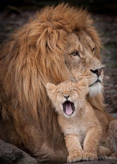 A tiny cub cuddles up to its father and gives the photographer a big yawn at Odense Zoo in Denmark.
