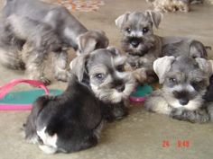 Schnauzer pups...looks like theyre having a meeting.