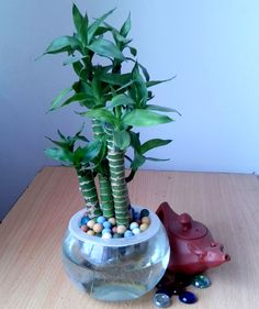 Luckybamboo-radiation-resistant-small-bonsai-font-b-indoor-b-font-hydroponic-font-b-plants-b-font.jpg (1836×2193)