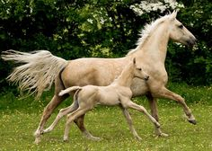 """Palomino mare with her """"mini me"""""""