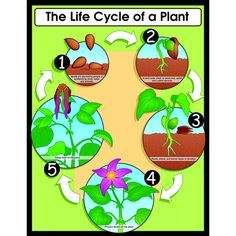 life cycle of tulips essay Eggshell tulips make a bouquet of  cut out the four cards and arrange them so they show the life cycle of a flowering plant from seed to flower  essay topics.