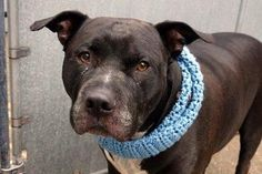 12/16/16 NYC ACC A1099314 Check out Kyle's profile on AllPaws.com and help him get adopted! Kyle is an adorable Dog that needs a new home. https://www.allpaws.com/adopt-a-dog/pit-bull-terrier/5618404?social_ref=pinterest