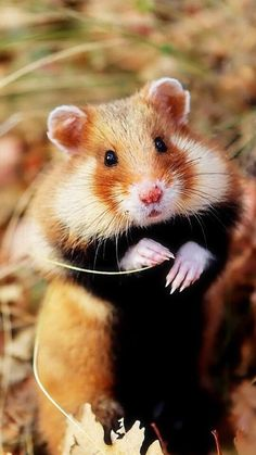 H is for hamster - black belly? Too cute! Animals Of The World, Animals And Pets, Funny Animals, Cute Animals, Wild Hamsters, Cute Hamsters, Iphone 5 Wallpaper, Animal Wallpaper, Hamster Habitat