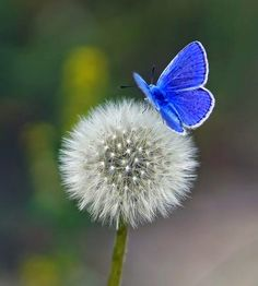 Witness the stunning blue butterfly on the fragile dandelion. The humble dandelion flower provides vitamin K to strengthen bones. Butterfly Kisses, Blue Butterfly, Morpho Butterfly, Blue Morpho, Butterfly Wings, Beautiful Butterflies, Beautiful Flowers, White Flowers, Beautiful Creatures
