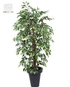 Ficus Benjamin Variegato 150