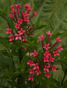 Fragrant Bouvardia 'Flamingo Pink' (Bouvardia longiflora hybrid) Long, tubular pink flowers grow in clusters and emit a nighttime fragrance that delights the senses.