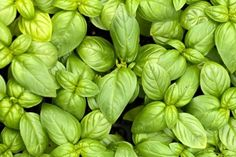 Homemade Basil Pesto Sauce is to make and so delicious. Here are a few recipes and tips on how to make, store, freeze homemade pesto sauce. Best Insect Repellent, Natural Mosquito Repellant, Mosquito Repelling Plants, Citronella Plant, Catnip Plant, Basil Pesto Sauce, Scented Geranium, Garden News, Garlic Bulb