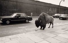 Fay Godwin   Bison at Chalk Farm Female Photographers, Landscape Photographers, Photography Store, Black And White Landscape, British Countryside, White Magic, Vintage Images, Black And White Photography, Light In The Dark