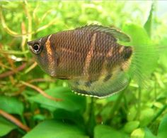 One Of The Challenging Species To Keep In An Aquarium…The chocolate gourami or Sphaerichthys osphromenoides, is a small species of gourami. These fish originate from the Malay Peninsula, Sumatra and Borneo and very popular in an aquarium trade but they are quite a challenging species to keep in an aquarium. It is a mouth-brooder.  The female incubates the eggs in her mouth...(continue reading please click an above link)