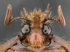 Via Twiiter ‏ Worst hairday? RT Speaking of and awesome and funny, check this out: Pleocoma australia. Microscopic Photography, Insect Photography, Weird Insects, Pictures Of Insects, Micro Nano, Beetle Insect, Cool Bugs, Bees And Wasps, Macro And Micro