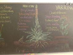 Waldorf ~ 6th grade ~ Botany ~ Medicinal Herbs ~ chalkboard drawing