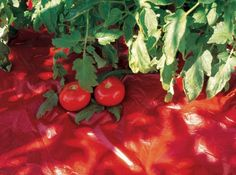 Red Mulch for Tomatoes