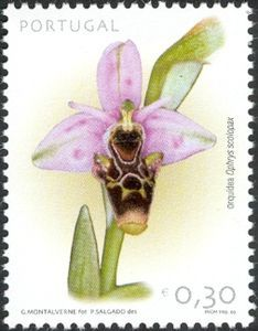 Orchid:Ophrys scolopax