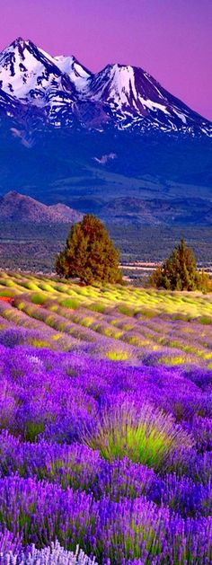 Valensole Lavender Fields in Mont Ventoux - Provence Beautiful World, Beautiful Places, Beautiful Pictures, Beautiful Scenery, Valensole, Photos Voyages, Lavender Fields, Places Around The World, Belle Photo
