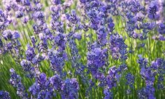 Lavendel en en fryd for øyet. Den lukter godt også. Velg en herdig variant, så klarer den vinteren greit i de mildeste klimasonene.