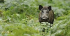 The Tuscan wild boar – or 'cinghiale' – has the dubious double honour of being a local emblem and a local delicacy.