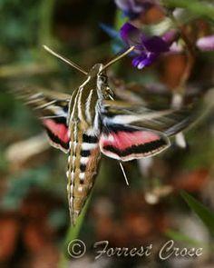*Hummingbird Moth
