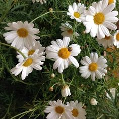 Daisies to brighten your day! Daisy Love, Brighten Your Day, Summer Flowers, Make Me Smile, Flower Arrangements, Eye Candy, Bloom, Birds, Daisies