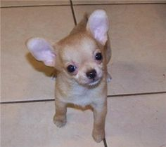 38 Best Apple Head Chihuahua Images Chihuahua Puppies For Sale