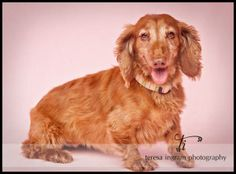 Mindy is an adoptable Dachshund Dog in Monroe, NC. *** For the month of July, our adoptable dogs who are 7+ years old will be 50% off the adoption fee to any approved adopter who is 60+ years of age a...