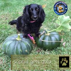 GOLD PAW UPDATE - SOPHIA   We have great news on this little one! Miss Sophia has found her forever home! We are so happy and are sure you will be too! Please help her get off to a good start with a round of like and shares, oh and some congratulatory shout outs! Yeah Sophia!!!