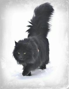black norwegian forest cat