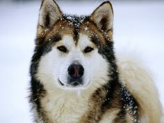 I will own a Malamute one day...