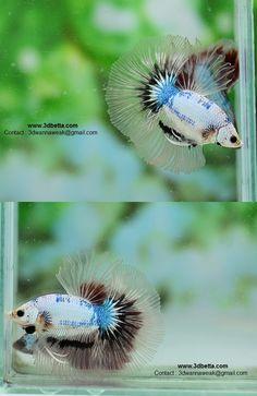 fwbettashm1403513166 - Hawk- Fancy Dragon Butterfly-white lip (HM3044)