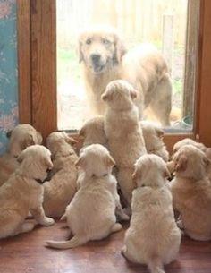 101 labradores, mamá perrita con sus cachorros, tierno, bonitos  www.perronality.com
